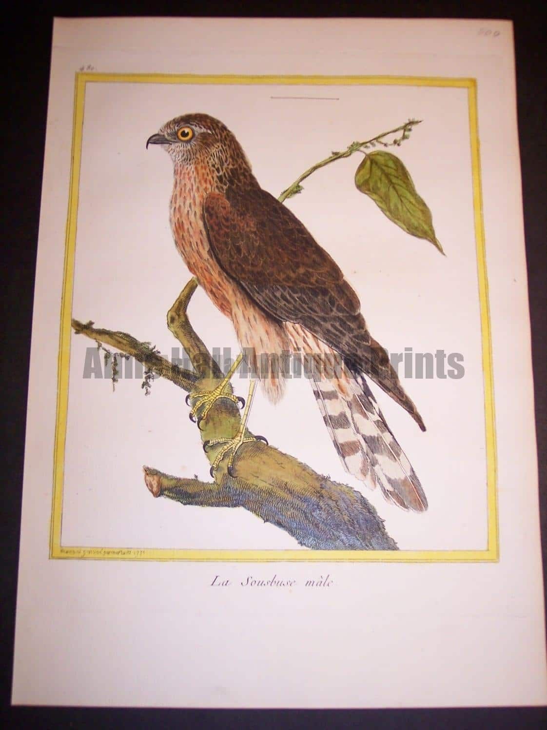 """Birds of Prey by Martinet French hand colored copper plate engraving 1770-1783 9x12"""""""