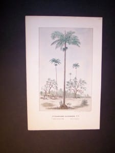 Ptychosperma Alexandrae Antique Palm Print