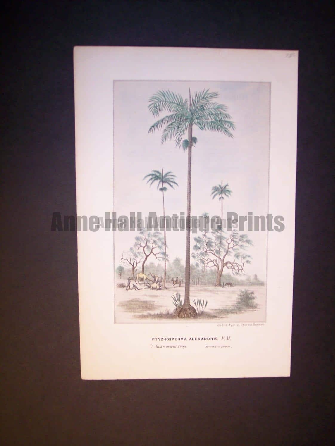 Ptychosperma Alexandrae Antique Palm Print