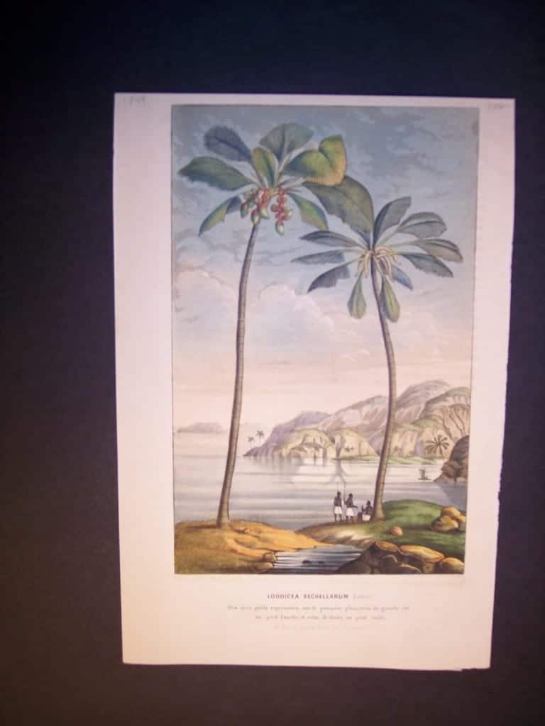Lodoicea Sechellarum. Palm Tree Hand Colored Lithograph