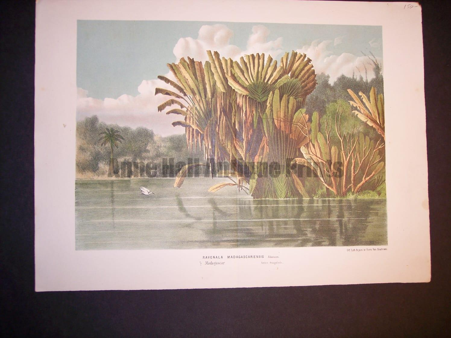 "Ravenala Madagascariensis Antique Tropical Palm Tree Print 10x13.5"" $95."
