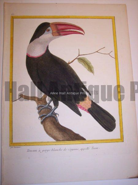 Martinet Toucan engraving from the 18th Century.
