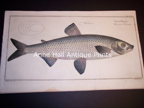 Elizer Bloch Fishwerks c.1730 handcolored copper plate engraving.