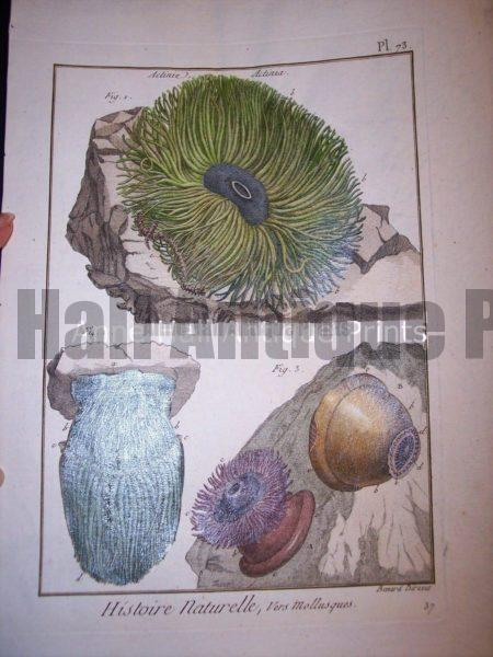 Antique Lamarck sea shell print. French hand colored copper plate engraving.
