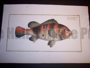 Lutianus Surinamensis