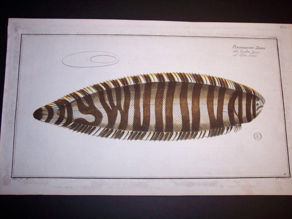 Zebra of the Sea by Elieser Bloch