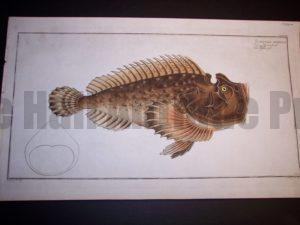 Scoraena Horrida or Scorpion Fish by Bloch $850.