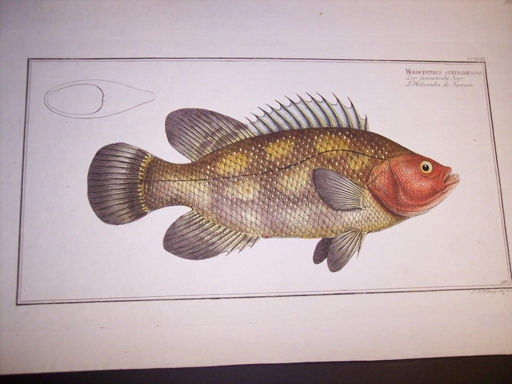 Holocentrus Surinamensis
