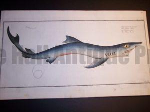 Elizer Bloch Fish Print c.1770