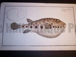 Tetrodon Spengleri Blowfish of the Sea