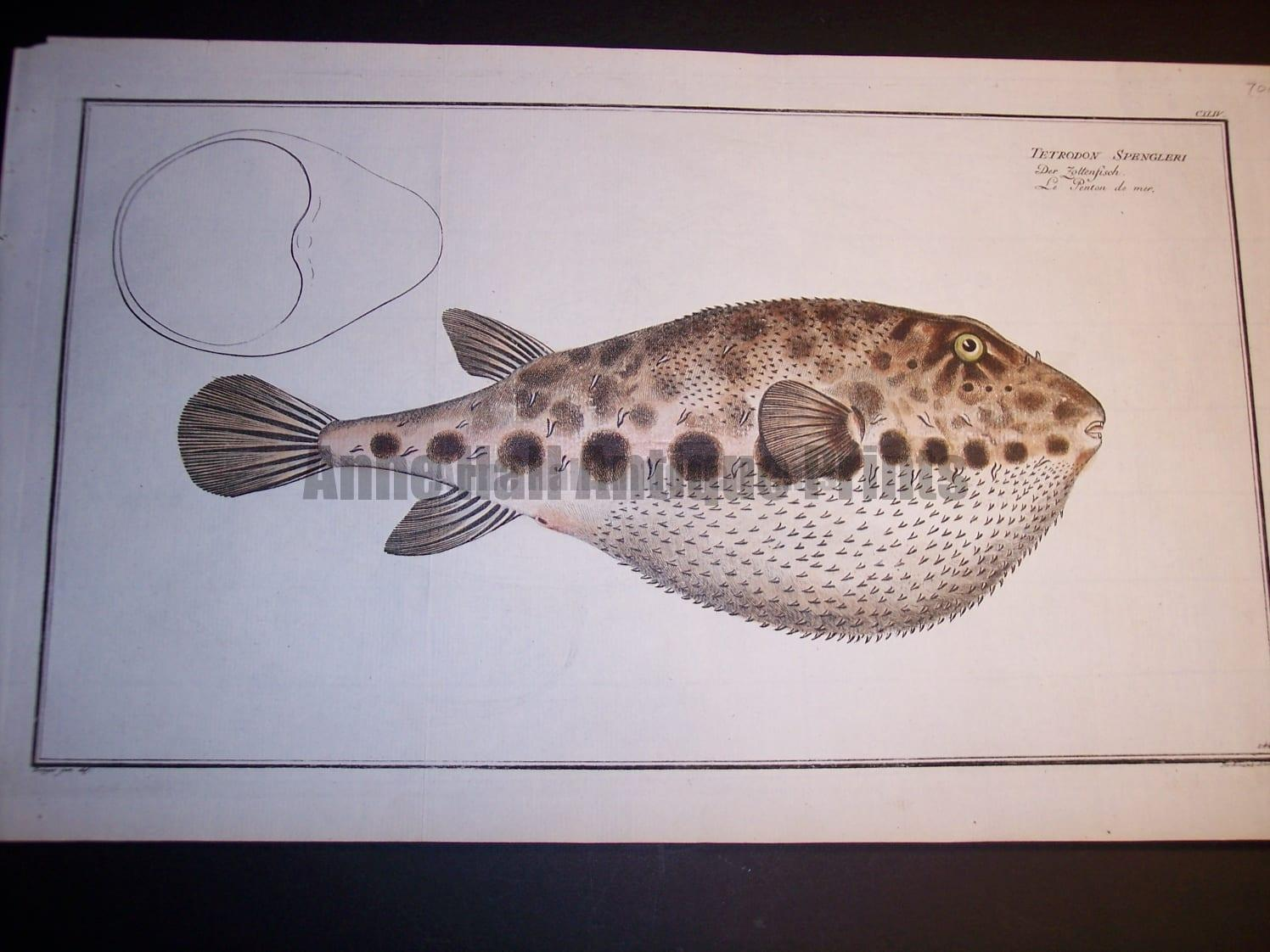 Tetrodon Spengleri Blowfish of the Sea