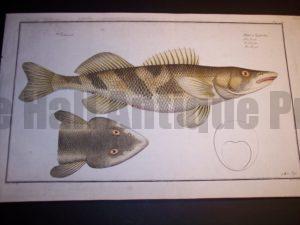 Elieser Bloch Fish Print c.1770