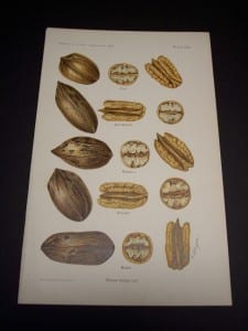USDA US Department of Agriculture Prints: Old lithographs