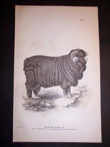 1888 Sheep Print, Old American lithograph.