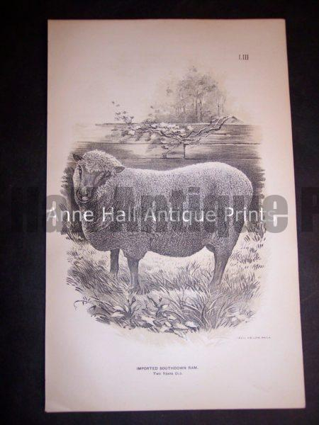 1888 Sheep Print, Old American lithograph.