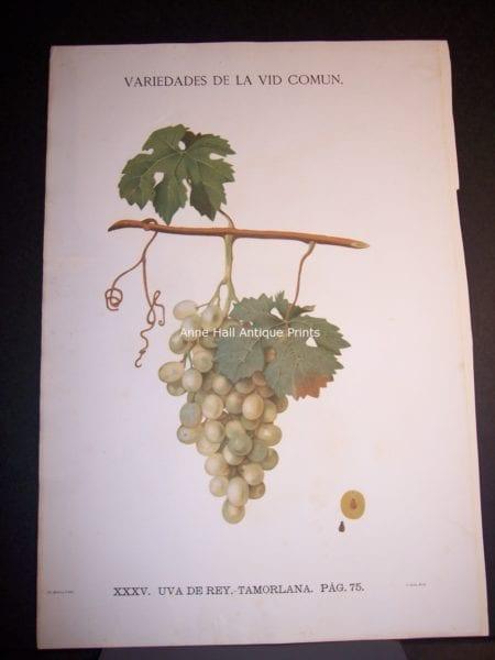 Rare wine chromolithograph p75 Uva de Rey. Tamorlana. $450.