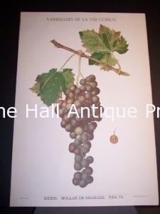 Rare Wine Grape Lithograph p74