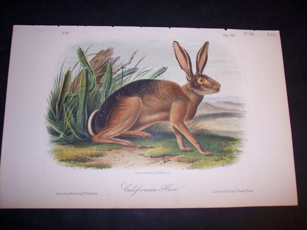Audubon California Hare