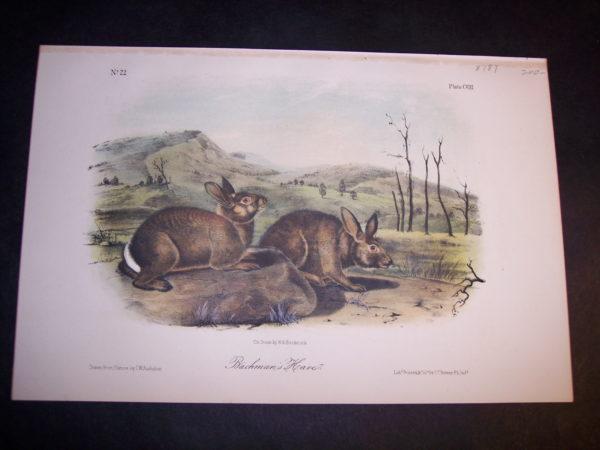Audubon Bachmans Hare