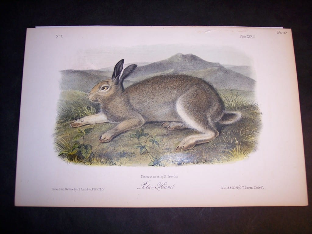 Audubon Polar Hare. Hand colored lithograph. $250.