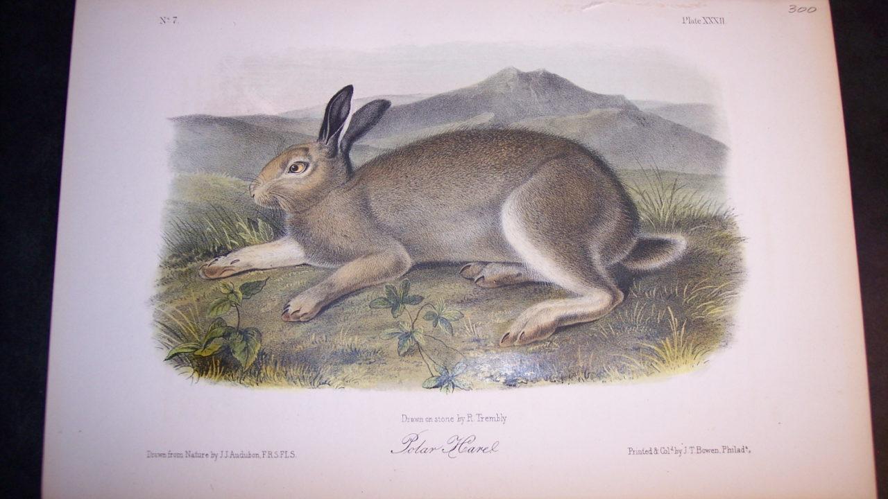 Audubon Polar Hare. Hand colored lithograph. $250.