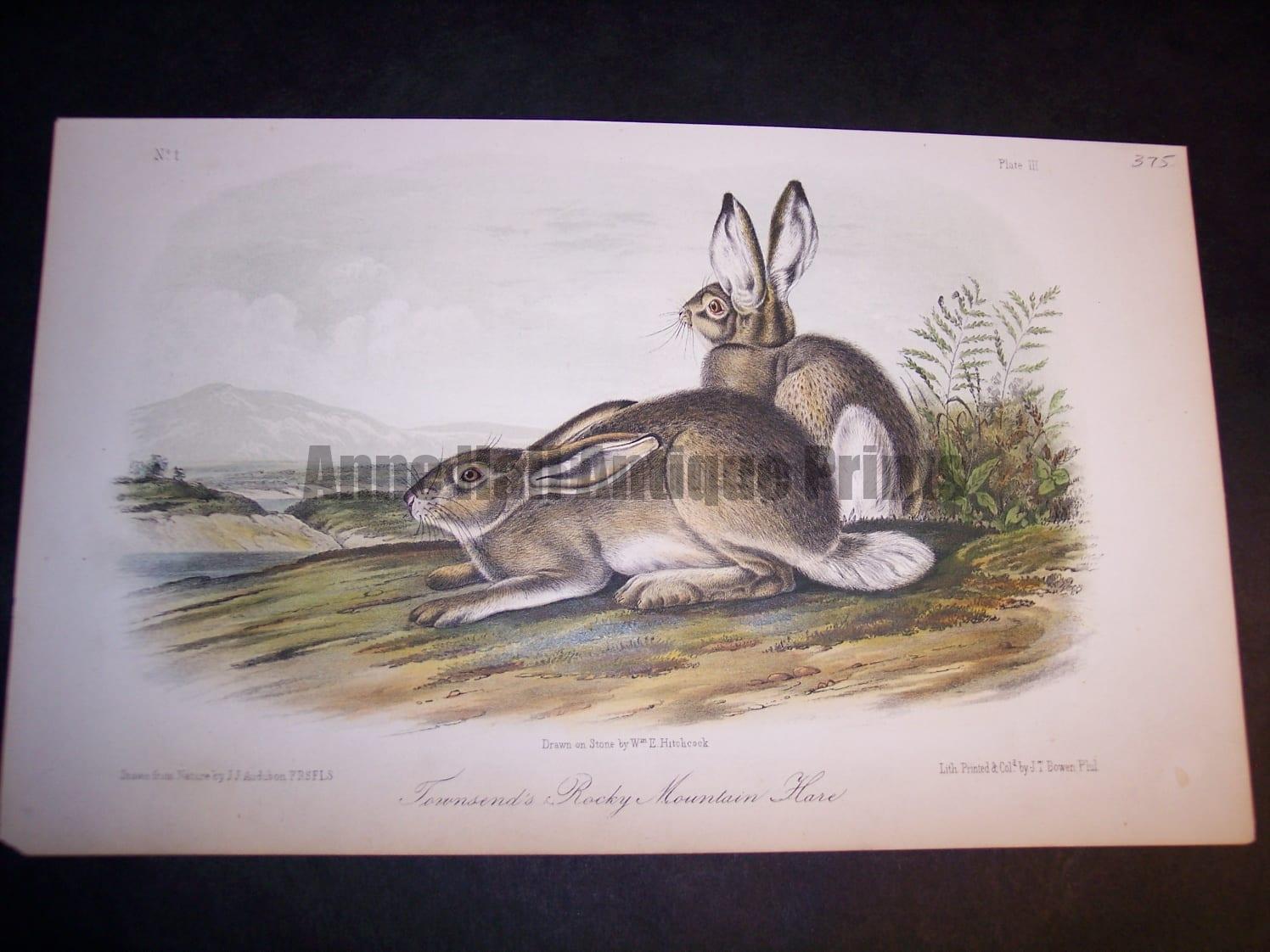 Audubon Townsends Hare