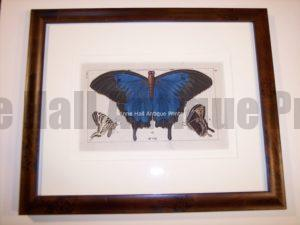 Hand colored butterfly engraving 78