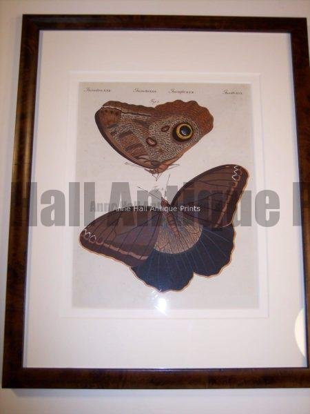 Hand colored butterfly engraving 79
