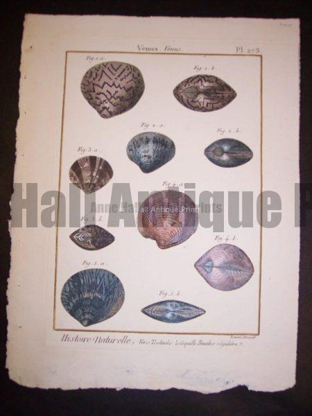 LaMarck Sea Shell Engraving 423