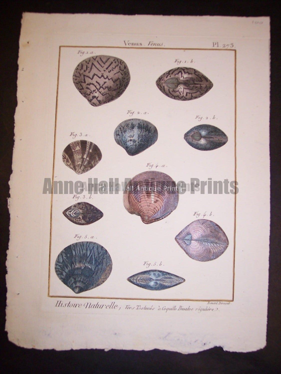 LaMarck Sea Shell Engraving 423