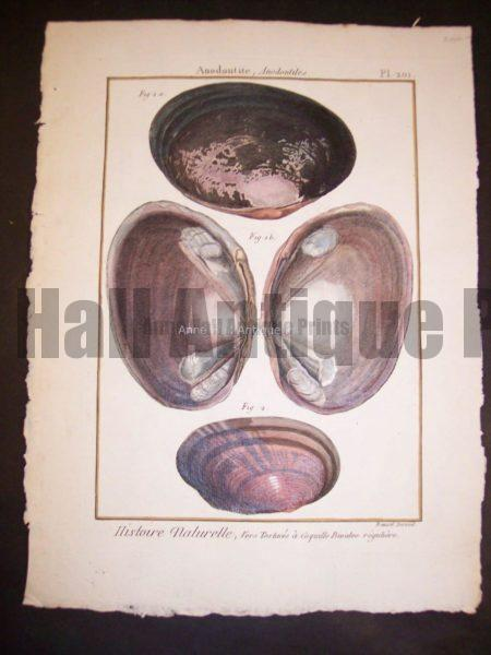 LaMarck Sea Shell Engraving 424