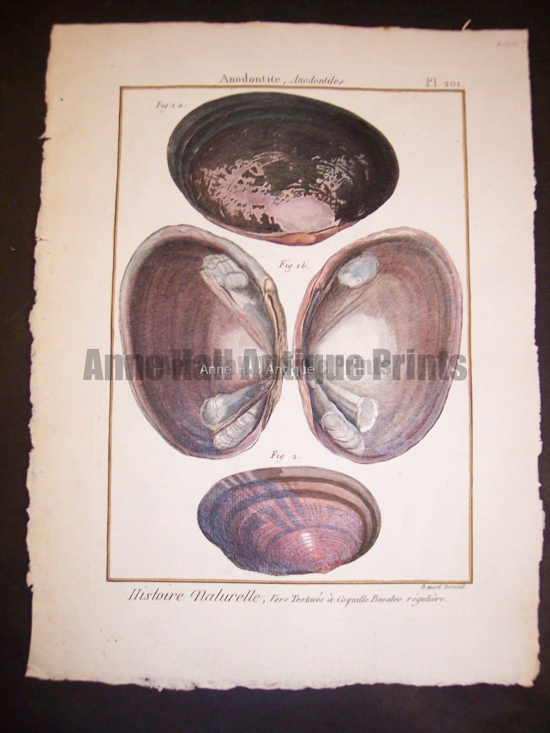 LaMarck Sea Shell Engraving 424