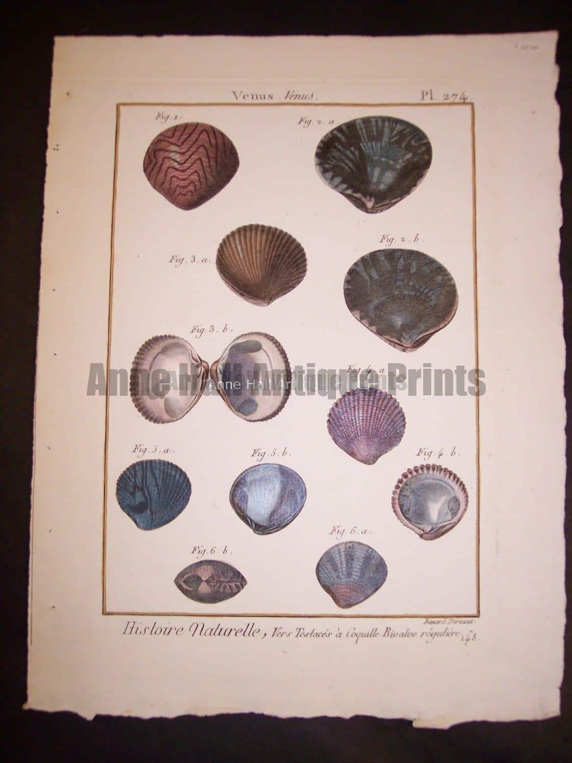 LaMarck Shell Engraving 425
