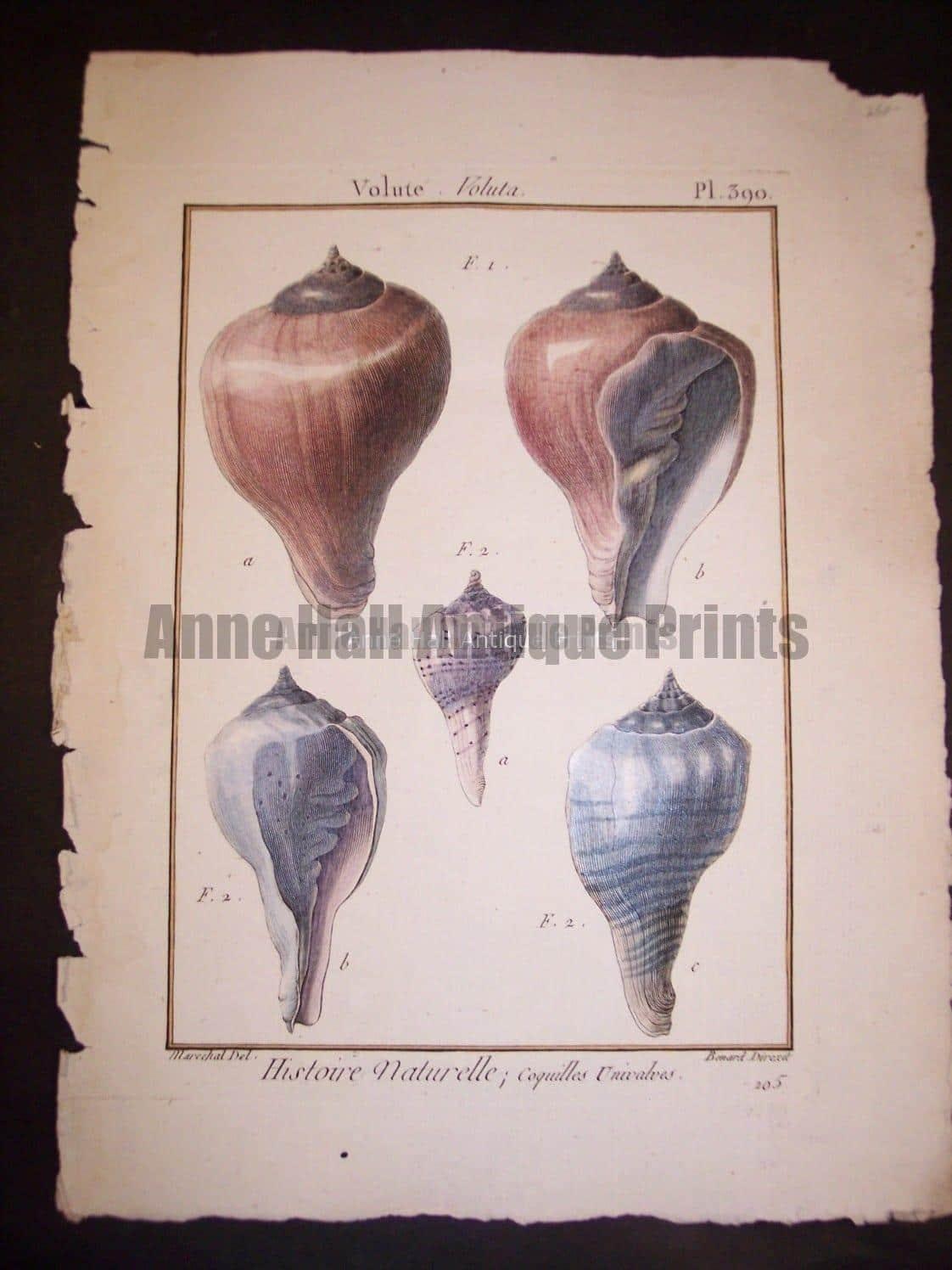 LaMarck Shell Engraving 426