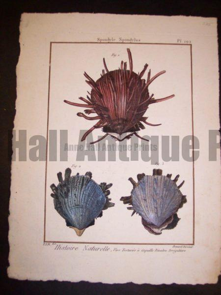 Lamarck Shell Engraving 427