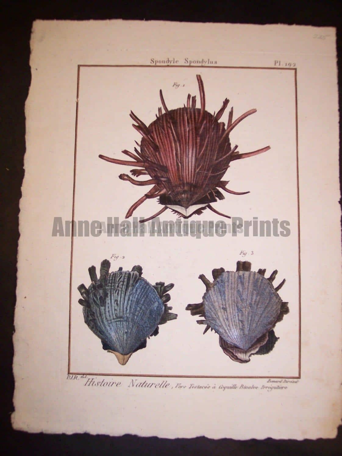 Lamarck Shell Engraving 427