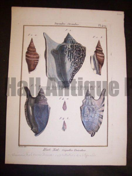 Lamarck Shell Engraving 429