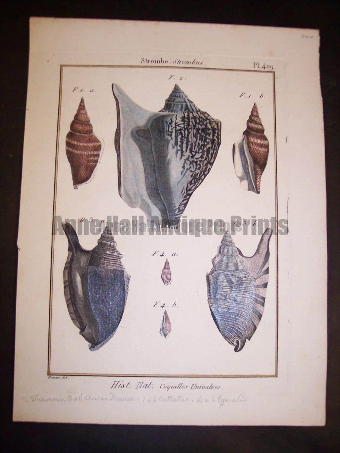 Lamarck Shell Engraving 429