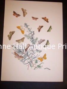 Humphrey Butterflies and Moths PL 68, 1865. $50.