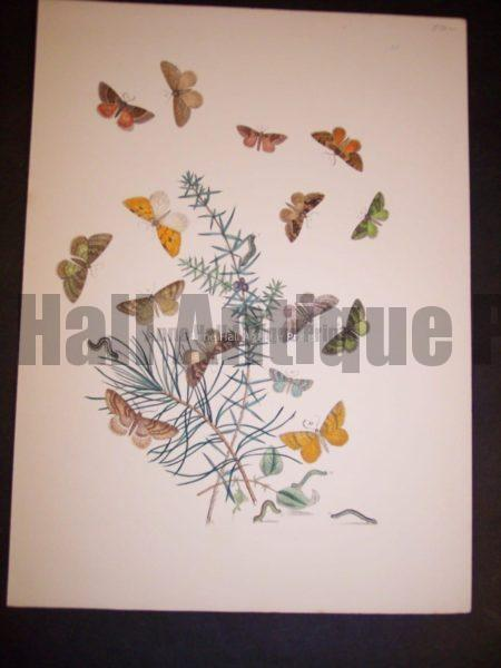 Humphrey Butterflies and Moths PL 68, 1865. $50.