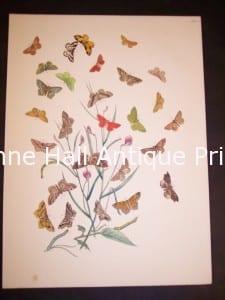 Humphrey Butterflies and Moths PL 73, 1865. $50.