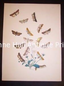 Humphrey Butterflies and Moths PL 24, 1865. $50.