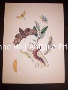 Humphrey Butterflies and Moths PL 9, 1865. $50.