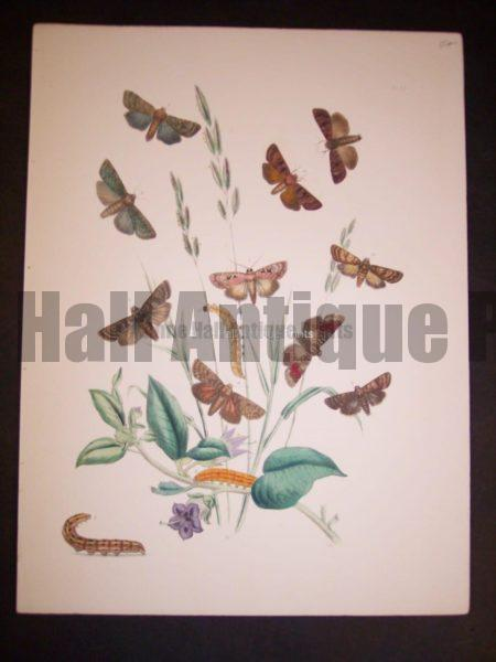 Humphrey Butterflies and Moths PL 25, 1865. $50.
