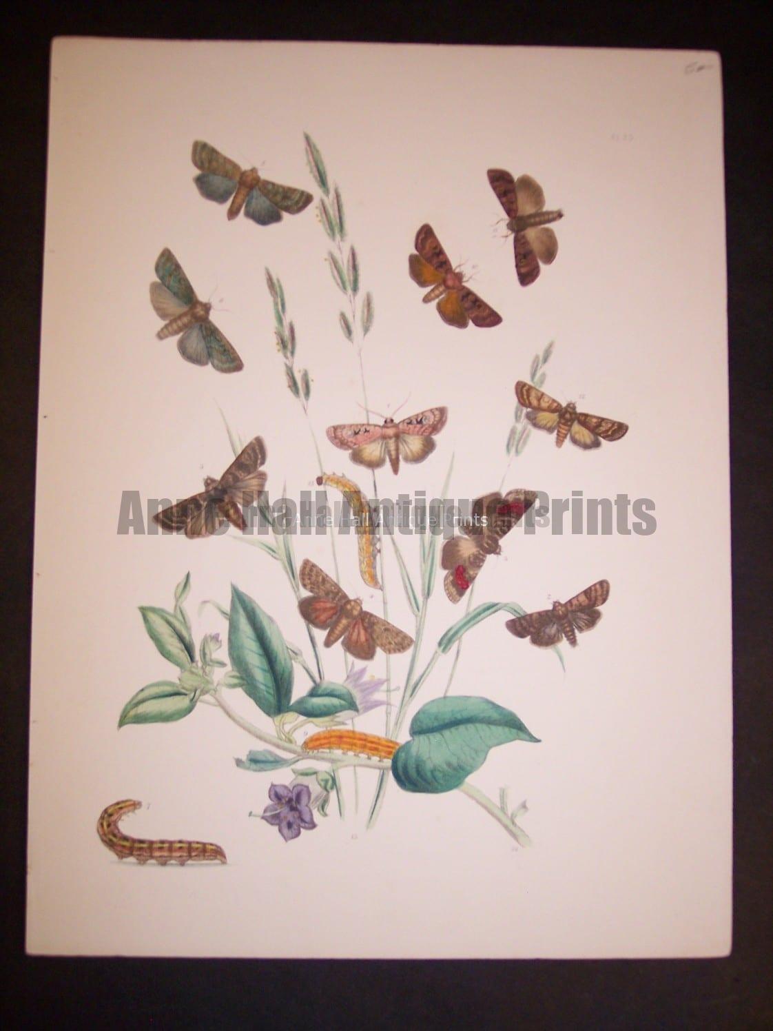 Humphrey Butterflies and Moths PL 25, 1865. $50.