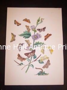 Humphrey Butterflies and Moths PL 62, 1865. $50.