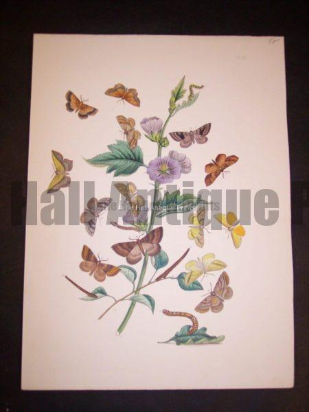 Humphrey Butterflies and Moths PL 62, 1865. $50.