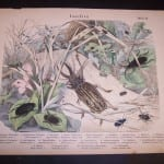 Shubert Insects hand colored engraving 49