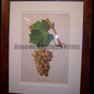 Ampelographie Org Tokos Wine Grapes FR1