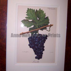 Ampelographie Lourella Wine Grapes FR2